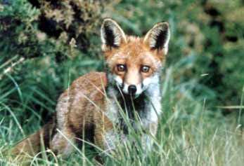 LittleFox